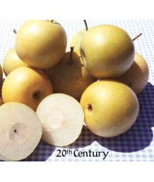 Fruit Asian Pear 20th Century