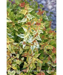 Abelia x grandiflora 'Kaleidoscope' PPAF