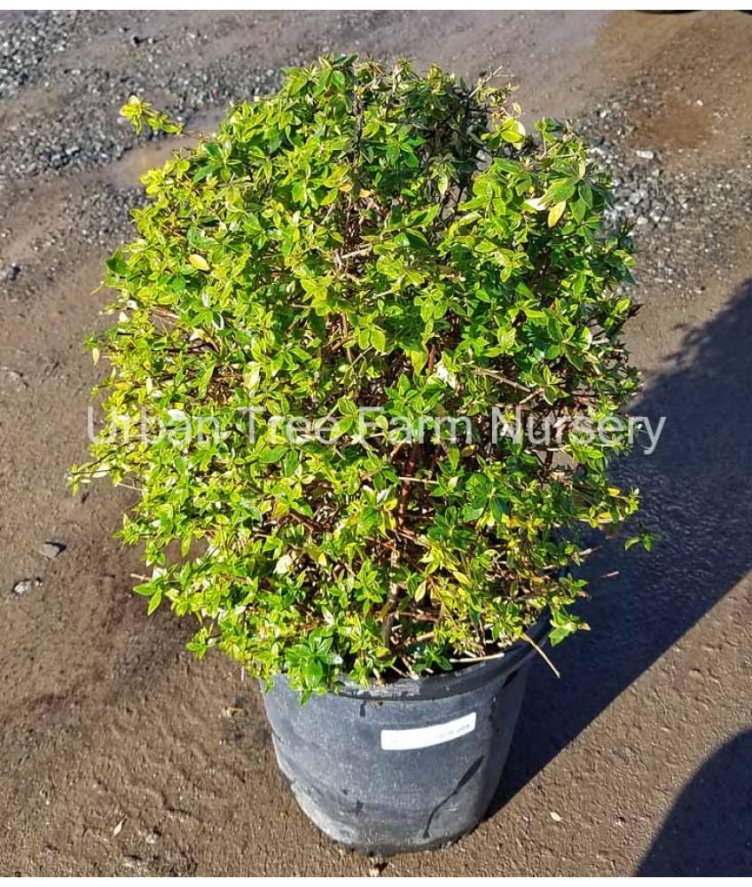 Evergreen Shrub Abelia G Prostrata Urban Tree Farm Nursery