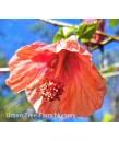 Abutilon hybridum 'Blushing BelleTM'