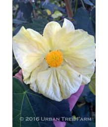 Abutilon hybridum 'Butter Bells TM'
