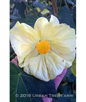 Abutilon hybridum 'Butter Bells TM'