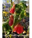 Abutilon hybridum 'Cristina'