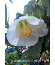 Abutilon hybridum 'Cygnet?'