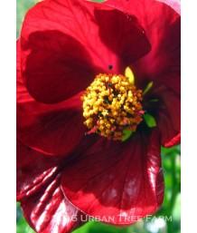 Abutilon hybridum 'Nabob TM'