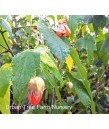 Abutilon hybridum 'Painted Bells TM'