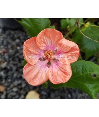 Abutilon hybridum 'Soft Sunrise TM'