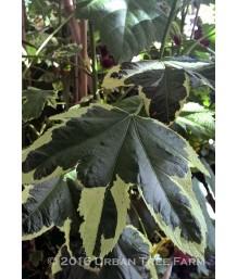 Abutilon hybridum 'Souvenir de Bonn?'