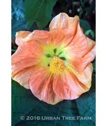 Abutilon hybridum 'Victor Reiter TM'
