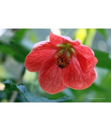 Abutilon hybridum 'Caroline'