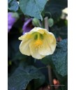 Abutilon hybridum 'Moon Chimes'