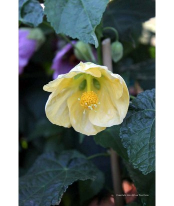 Abutilon hy Moon Chimes