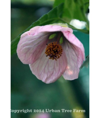 Evergreen Shrub Abutilon Hy Pink Urban Tree Farm Nursery