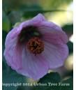 Abutilon hy Pink