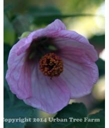 Abutilon hybridum 'Pink'  Patio Tree