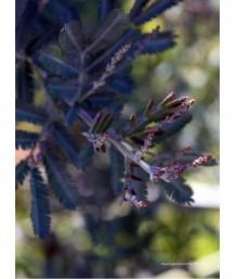 Acacia baileyana 'Purpurea' STD
