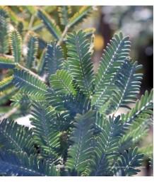 Acacia baileyana STD