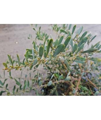 Acacia redolens 'Low Boy'