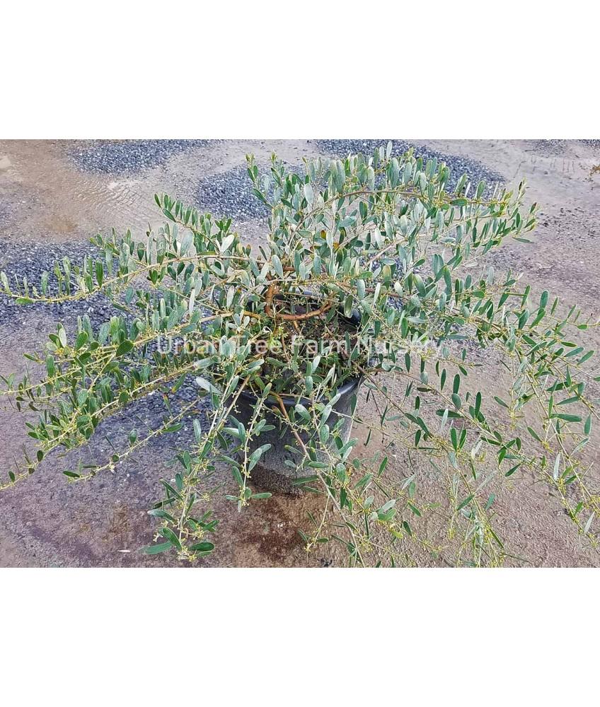 Evergreen Shrub Acacia R Low Boy Urban Tree Farm Nursery