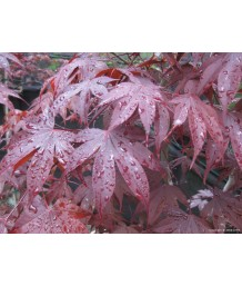 Acer p. Emperor One