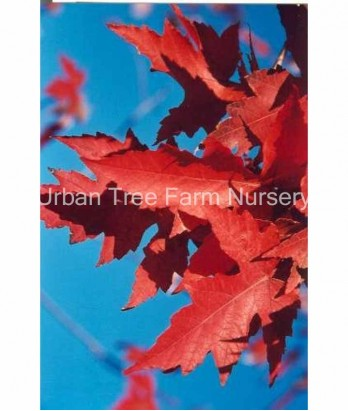 Acer freemanii 'Autumn Blaze'