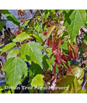 Acer ginnala 'Flame' MULTI