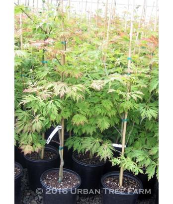 Acer j. Aconitifolium