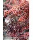 Acer p. Crimson Queen