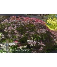 Acer palmatum 'Ever Red'