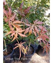 Acer palmatum 'Orange Flame'