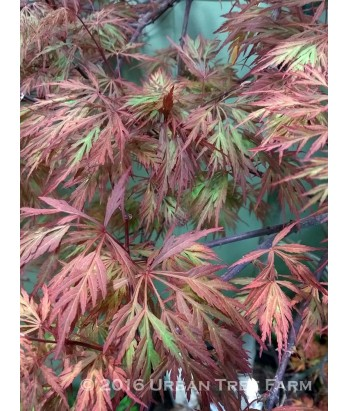 Acer p. Orangeola