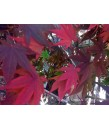 Acer palmatum 'Oshio Beni'