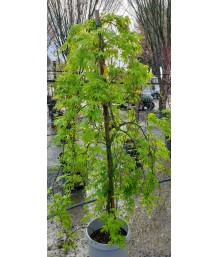 Acer palmatum 'Ryusen' (Ryusei)