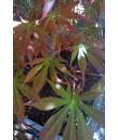 Acer p. Sherwood Flame