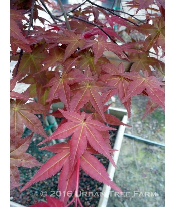 Acer p. Shindeshojo