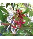 Acer palmatum 'Suminagashi'