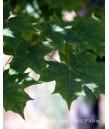 Acer truncatum x platinoides 'Norwegian Sunset'