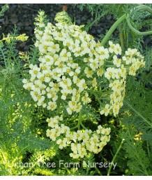 Achillea millefolium 'Credo'
