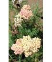 Achillea millefolium 'Apple Blossom'