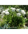 Agapanthus africanus 'White'