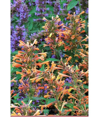 Agastache x 'Summer Sunset'