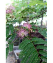 Albizia julibrissin LOW BRANCH