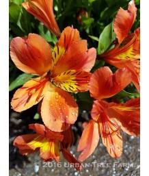 Alstroemeria 'Hybrid Orange Yellow'