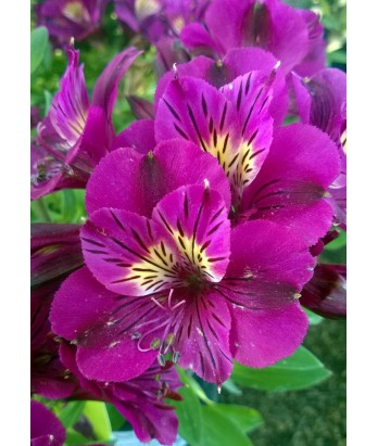 Alstroemeria Princess Louise
