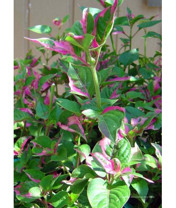 Alternanthera f. Party Time