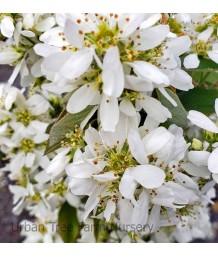 Amelanchier alnifolia 'Regent'