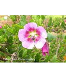 Anisodontea hypomandarum 'Tara's Pink'