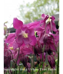 Aquilegia h. Purple Petticoats