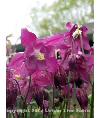 Aquilegia hybrid 'Purple Petticoats'
