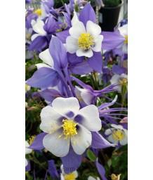 Aquilegia hybrid 'Swan Blue & White'